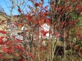 我家の紅葉2