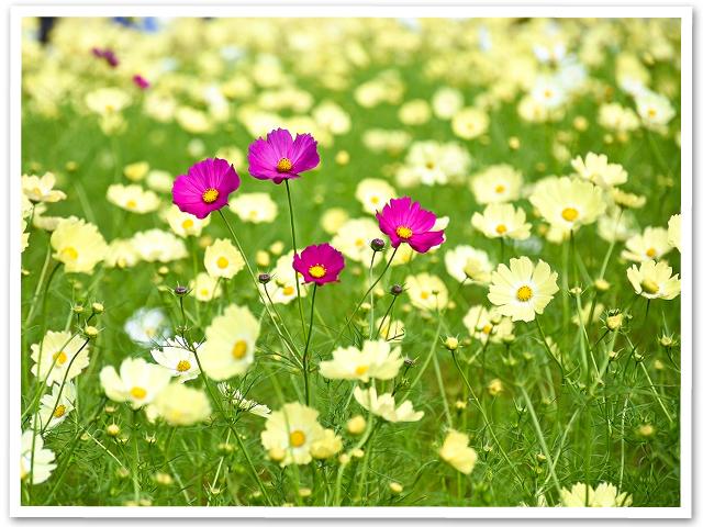秋桜☆昭和記念公園