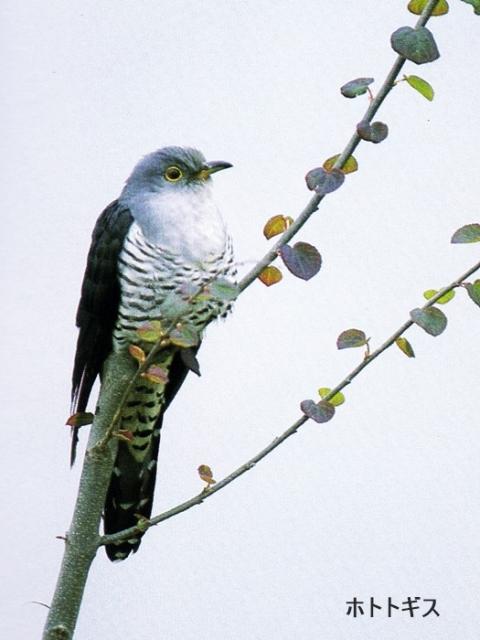 ホトトギス 鳥