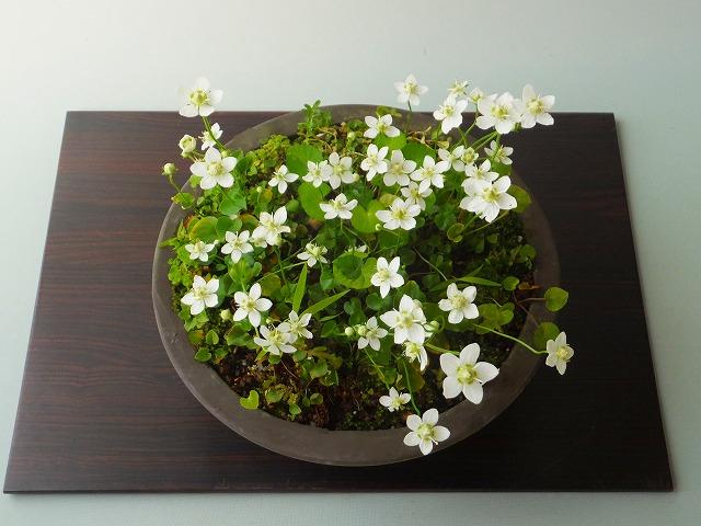 花子さん家の梅鉢草畑H27年11月