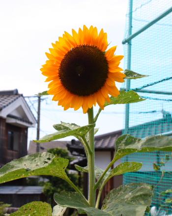 himawari1509.jpg
