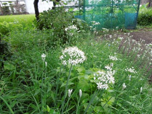 3.ニラの花