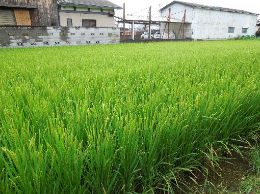 1.稲の生育