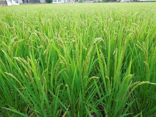 2.稲の生育2