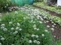 5.ニラの花盛り