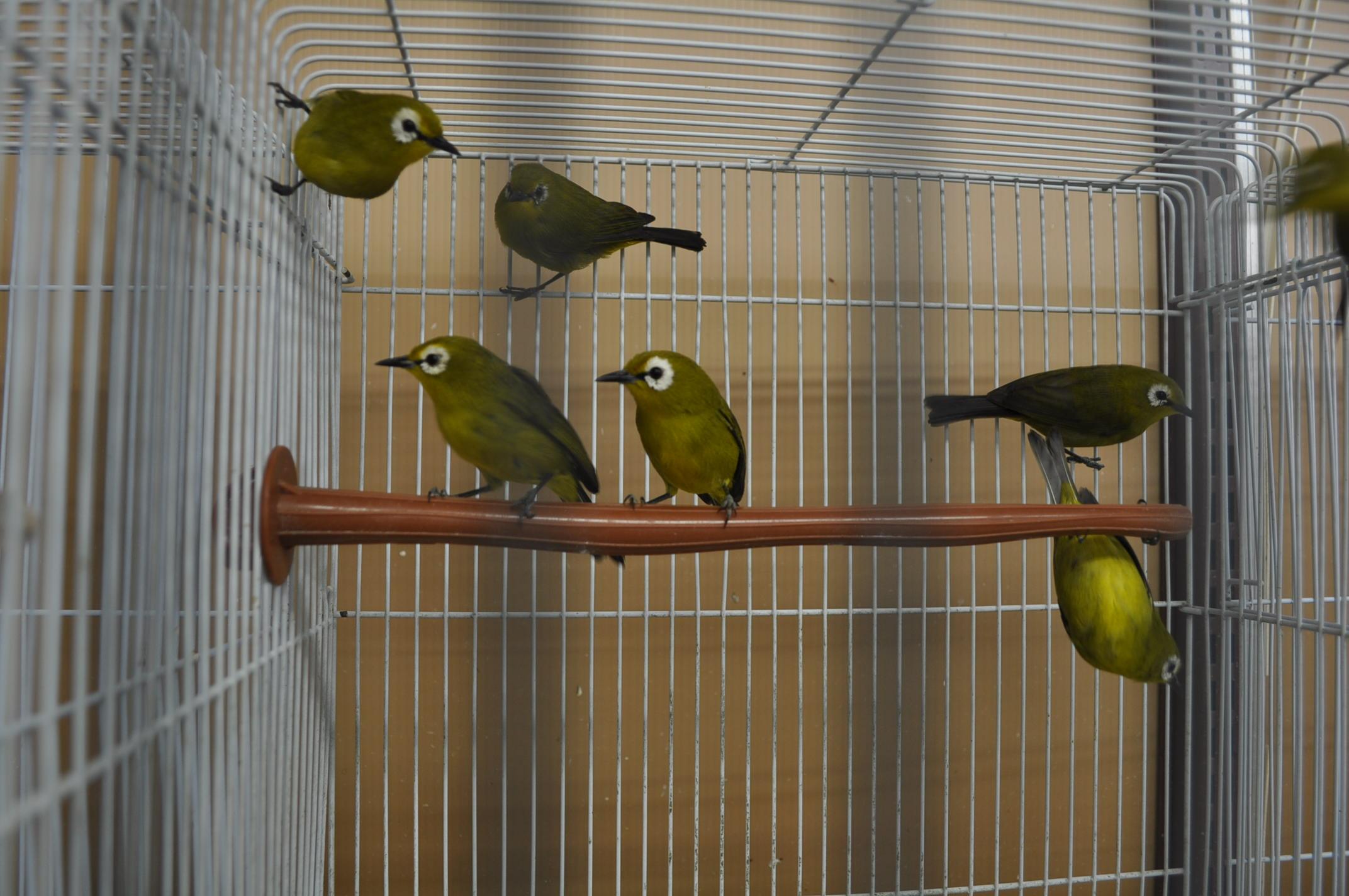 飼い方 メジロ 日本野鳥の会 :