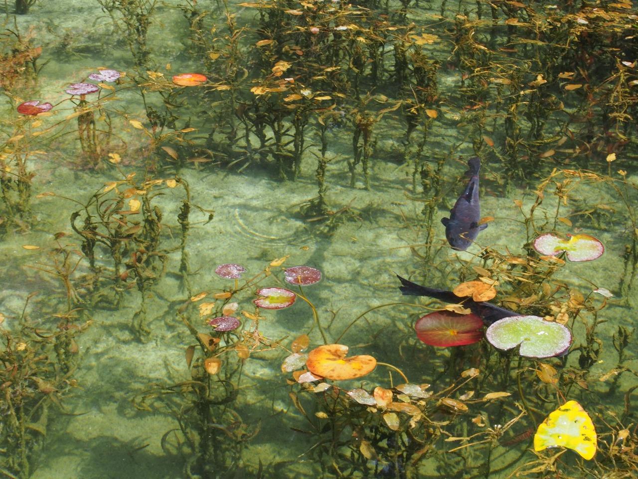 モネの池5