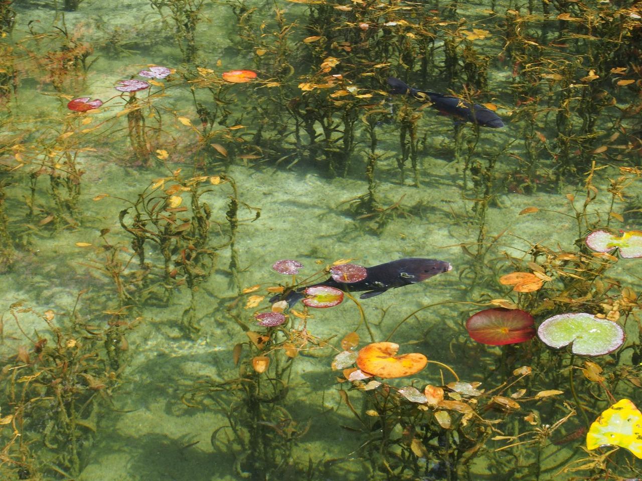 モネの池鯉4