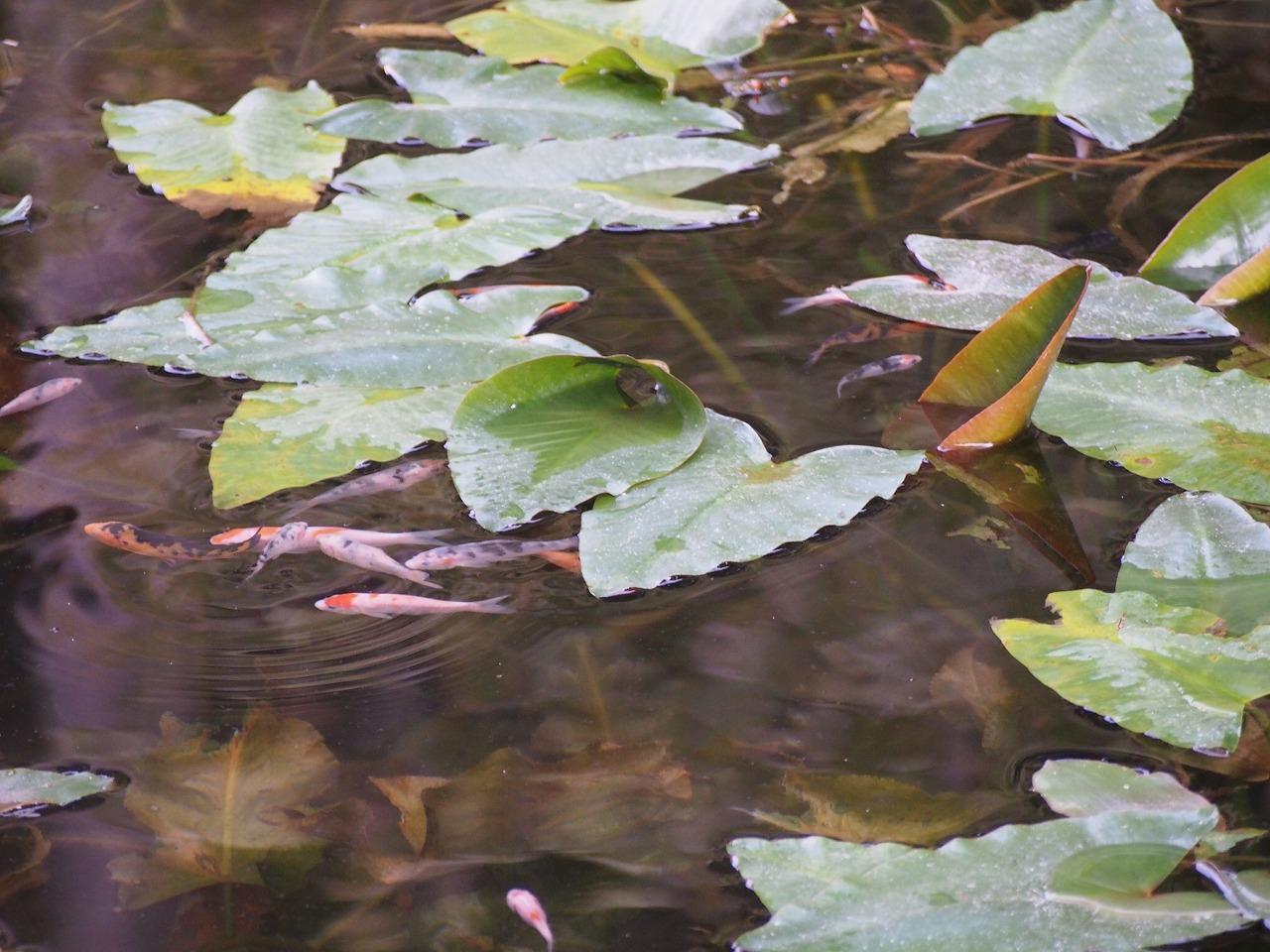 もねの池小魚