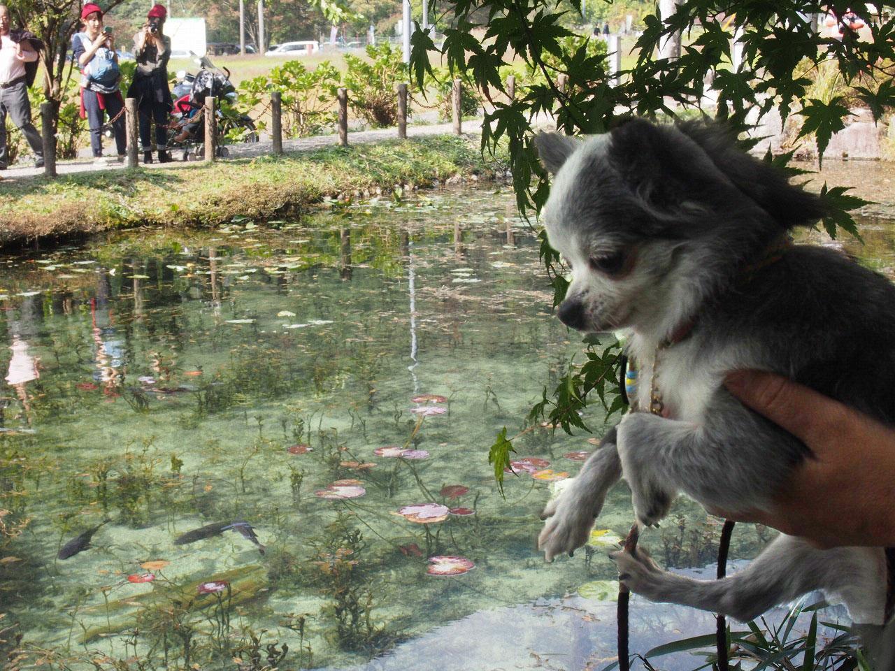 モネの池ぴぃ3