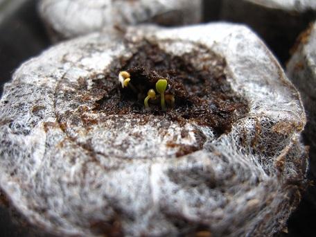 セルバチコ発芽1