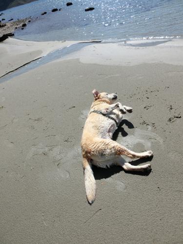 羊の国のラブラドール絵日記シニア!!「ビーチは続くよ、どこまでも」写真2