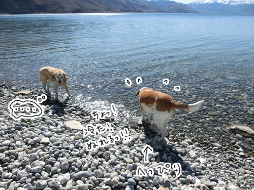 羊の国のラブラドール絵日記シニア!!「羊の国の水泳教室」3
