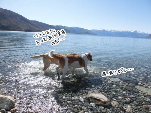 羊の国のラブラドール絵日記シニア!!「羊の国の水泳教室」4