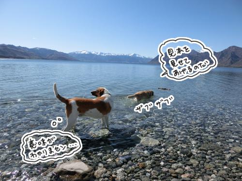 羊の国のラブラドール絵日記シニア!!「羊の国の水泳教室」6