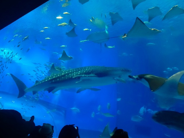 美ら海水族館 (12)
