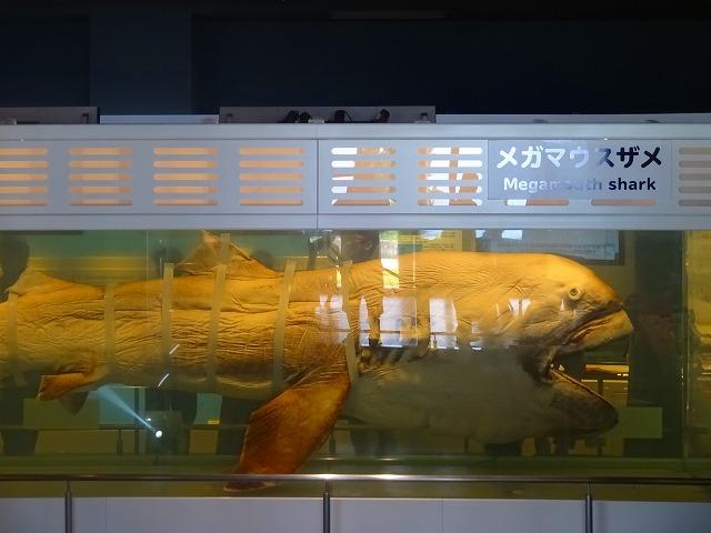 美ら海水族館 (15)