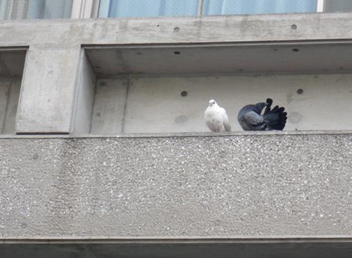 白い鳩を追っかけよう