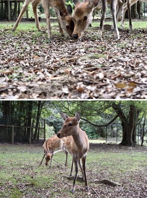 春日野の鹿