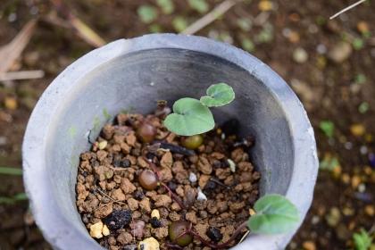 コウム 鉢植え