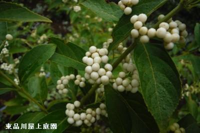 shiratamakoshikibu_20150829142022604.jpg