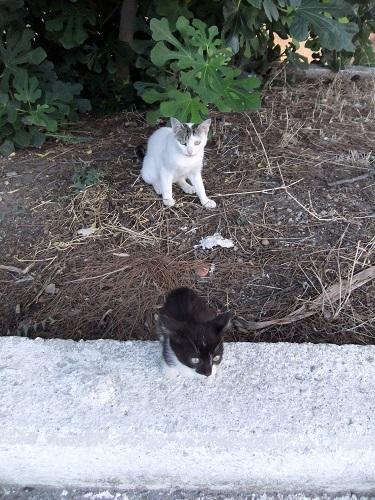アギオス・エフストラティオスの猫さん (1)