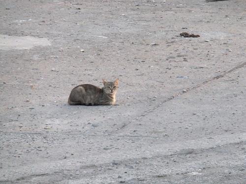 アギオス・エフストラティオスの猫さん (5)