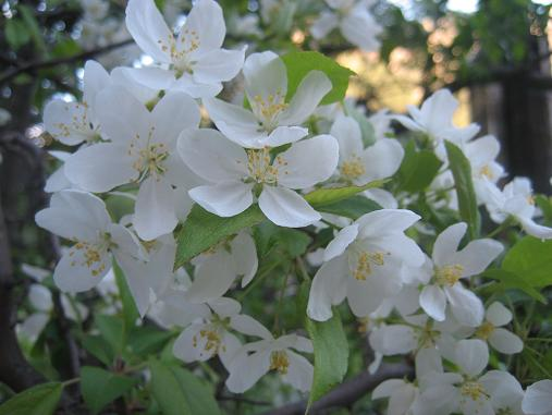 コナシの花