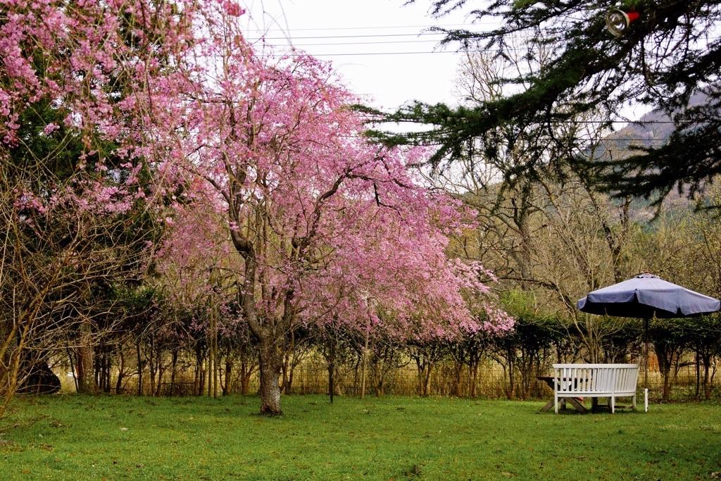 28.4.9枝垂れ桜-1