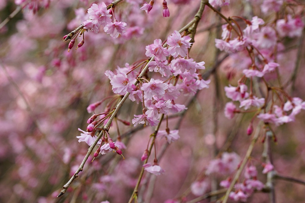 28.4.9枝垂れ桜-2