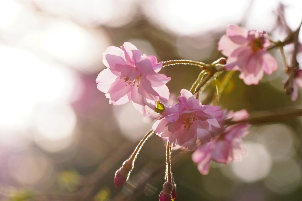 28.4.9枝垂れ桜-3