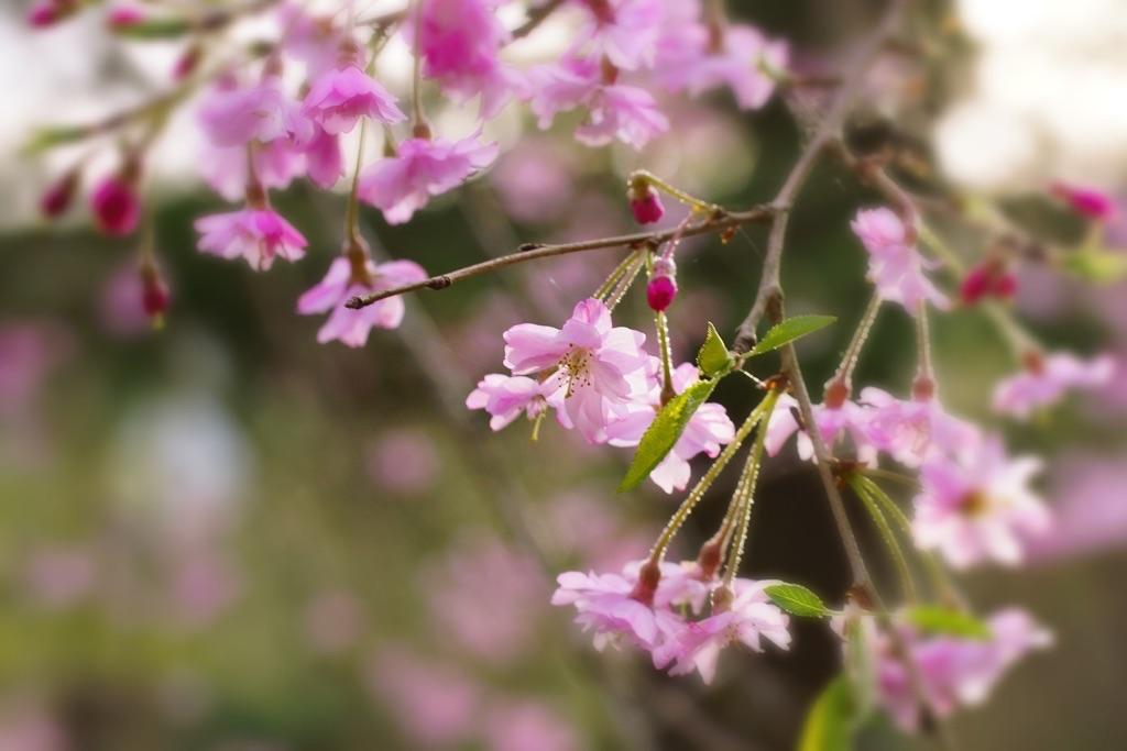 28.4.9枝垂れ桜-4