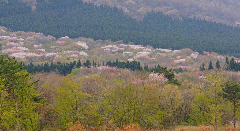 由布岳の山桜-1
