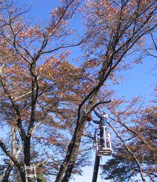 H271014桜木剪定