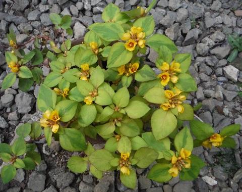 Lysimachia_congestiflora_Lyssii4-2016.jpg