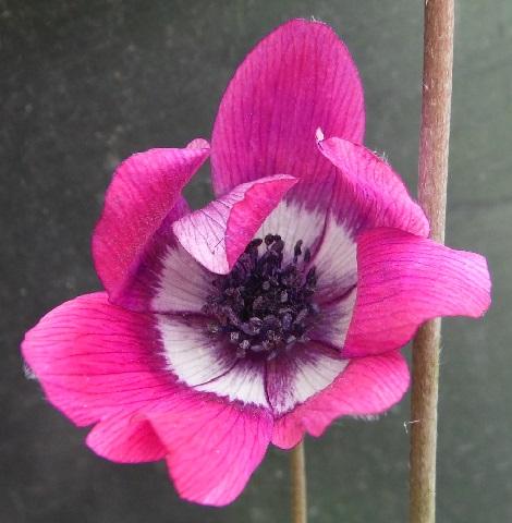 アネモネ・フルゲンス・赤紫1-2016