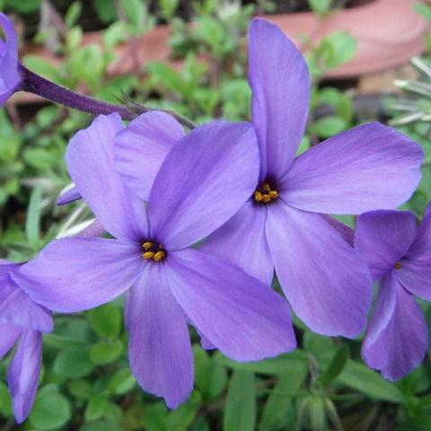 tsuruhanashinobu-sherwood-purple1-2016.jpg