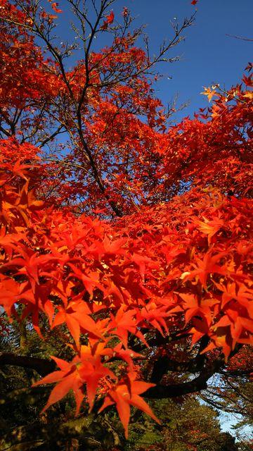 今朝の京都御苑の紅葉♪