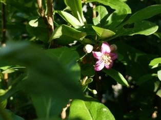 DSC_0853クコの花1015