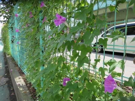 厚木小学校のフェンスの朝顔