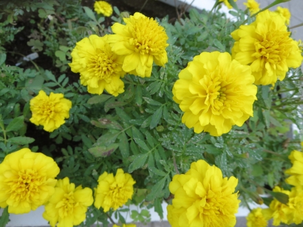 大手公園、黄色い花