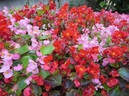 大手公園、赤い花、ピンクの花