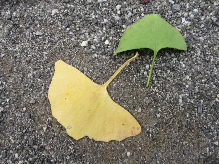 銀杏の葉、黄と緑