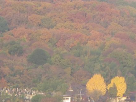 紅葉の山、二本の銀杏