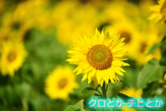 540px2015-10-14_sunflower-01.jpg