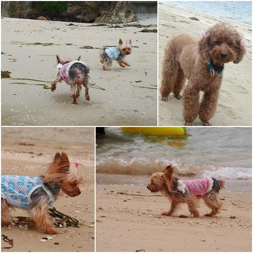 浜で遊ぶワンズ