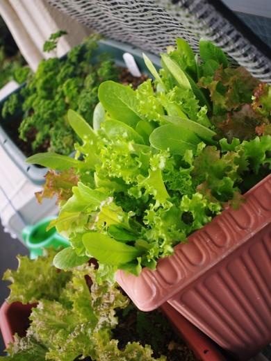 ベランダの野菜