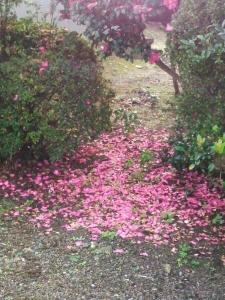 20151118ピンクの絨毯