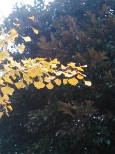 20151125黄葉