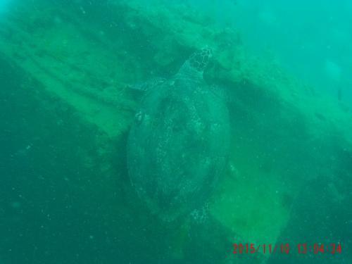 ウミガメ 2015-11